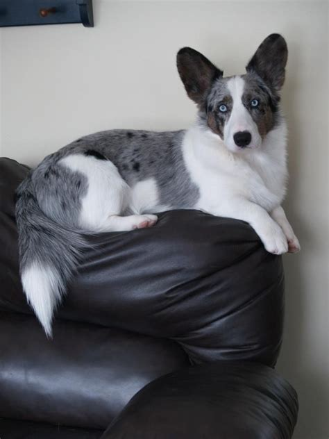 blue merle corgi puppies best 25 blue merle corgi ideas on blue merle merle corgi and blue merle
