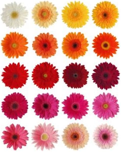 gerbera colors the gallery for gt and white gerbera daisies bouquet