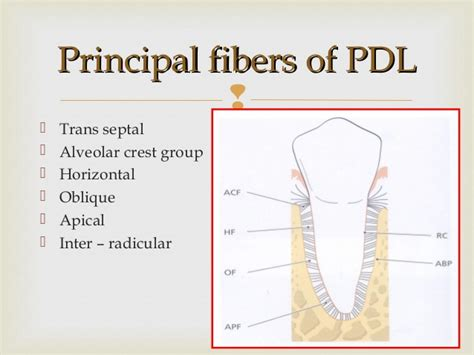 What Is Root Bridge by Pdl Periodontal Ligament