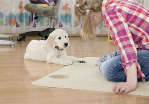 how to get rid of dog pee smell in house how to get rid of dog urine smell american kennel club