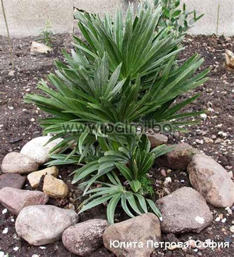 chamaerops humilis mediterranean fan palm chamaerops humilis var etna volcanic mediterranean fan palm
