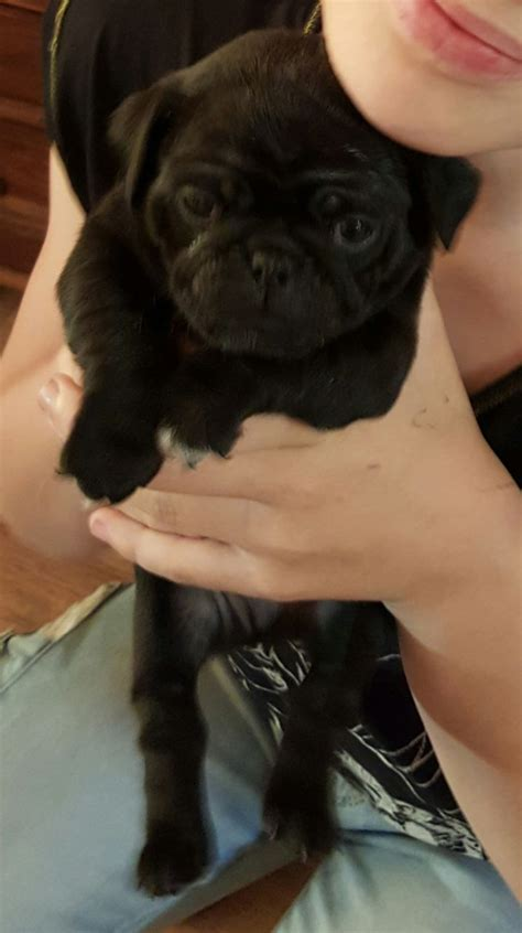 boy pug puppies for sale pug puppies for sale 3 boys bradford on avon wiltshire pets4homes