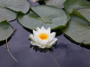 The White Lotus White Lotus