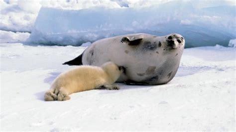 imagenes de animales naciendo 191 la foca es un mam 237 fero