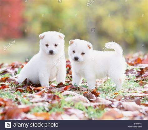 white shiba inu puppies two white shiba inu puppies in a park stock photo 18219879 alamy