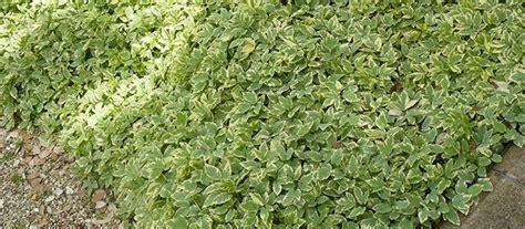 Plantes Tapissantes Sans Entretien by Les Plantes Couvre Sol