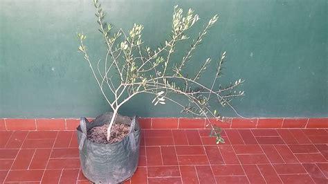 Harga Bibit Zaitun Tin jual bibit pohon buah tin zaitun dan sianci home