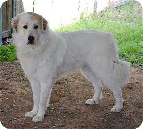 great pyrenees anatolian shepherd mix puppies for sale dogs for adoption adoption and a on