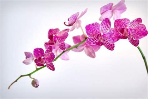 orchidea fiore cura curare le orchidee orchidee cura delle orchidee in casa