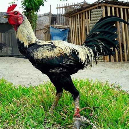 gallos peruanos de venta gallos peruanos en usa gallos peruanos en venta en