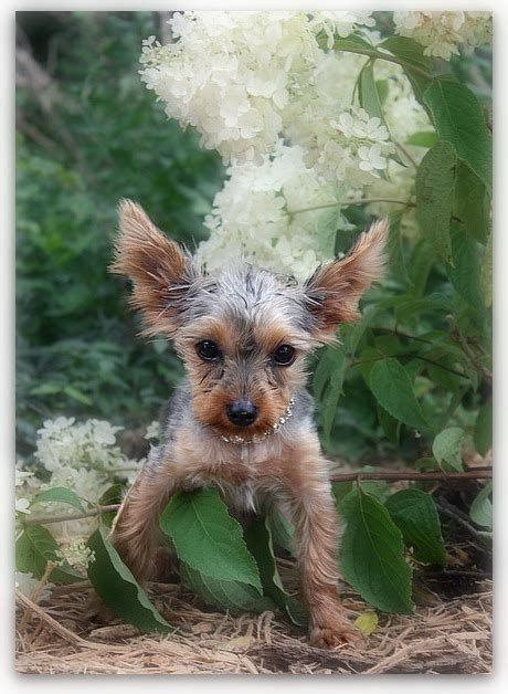 yorkie with hair thin hair on yorkie hairstylegalleries
