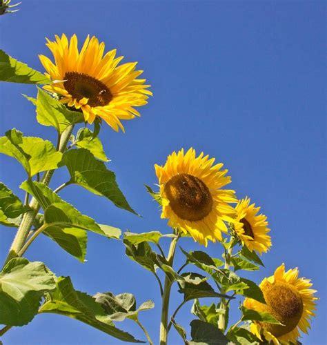 black sunflower seed growers peredovik organic sunflower seeds
