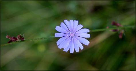fiore di bach chicory fiori di bach chicory il fiore dell attaccamento
