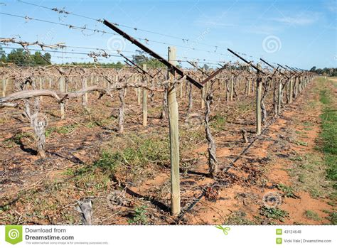 Trellis Plans Free Grape Vines With Shaw Swing Arm Trellis Stock Photo