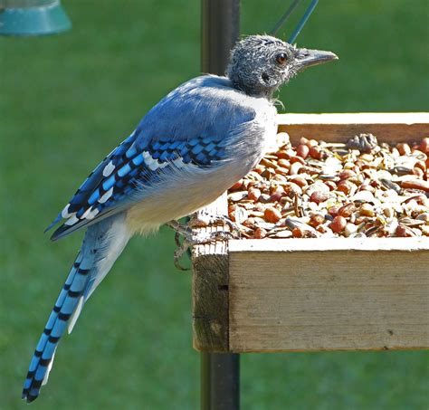 bald stage of a molting blue jay feederwatch