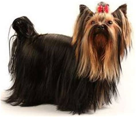 yorkie tails yorkie tails guidelines methods pros and cons