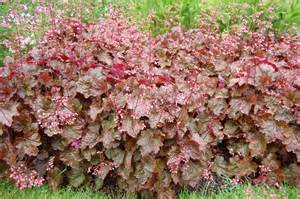 Flowering Shade Shrubs - heuchera rachel landscape architect s pages