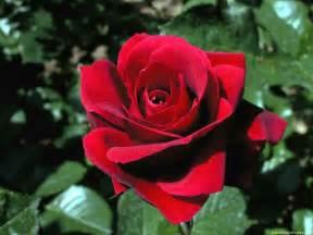 imagenes de rosas sangrientas rosas familia feliz joven