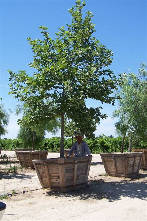 California Backyard Trees by California Sycamore Large Container Backyard Trees