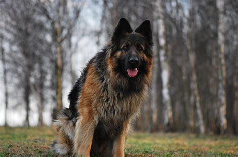 german shepherd breed german shepherd vs rottweiler one breed wins