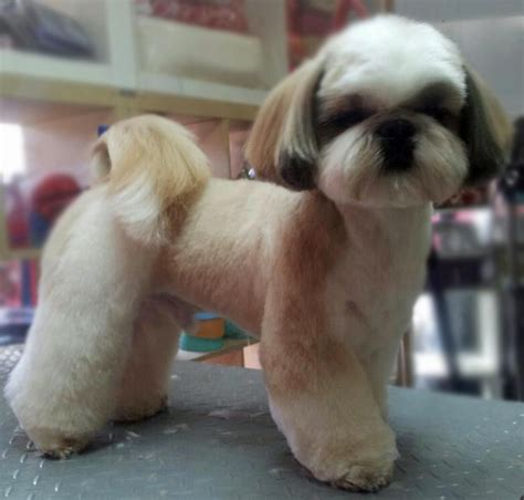 best grooming tools for shih tzu shih tzu grooming styles shih tzu grooming four dvds pets