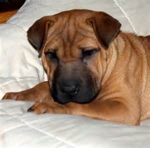 shar pei puppy cost how much are shar pei puppies