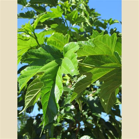 morus alba fruitless boething treeland farms