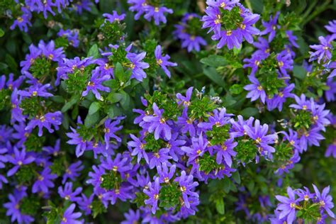 scaevola care  growing guide