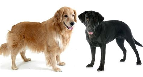 golden retriever x labrador golden retriever vs labrador which is the best pet