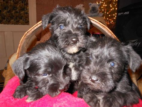 miniature schnauzer puppies ohio akc miniature schnauzer puppies in west liberty ohio hoobly classifieds puppy
