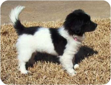 akita puppies for adoption akita puppies for adoption okay breeds picture