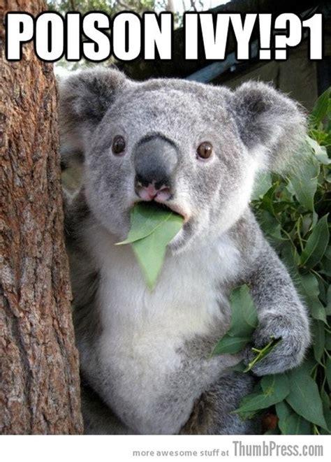 Hairless Bear Meme - funny koala bear pictures 13