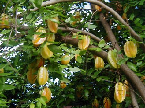 fruit trees images khmerkrom recipes by mylinh