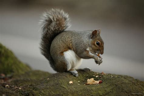 squirrel eating nut free stock photo hd public domain