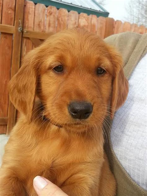 golden retriever oregon golden retriever for sale in oregon dogs our friends photo