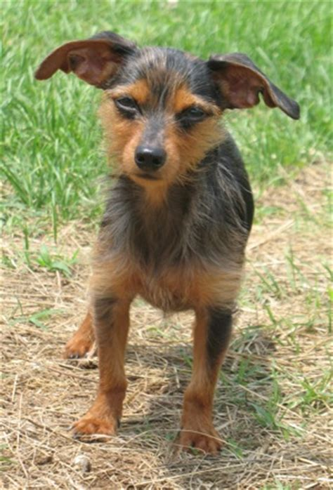 dachshund yorkie mix dorkie dachshund yorkie mix info temperament puppies pictures