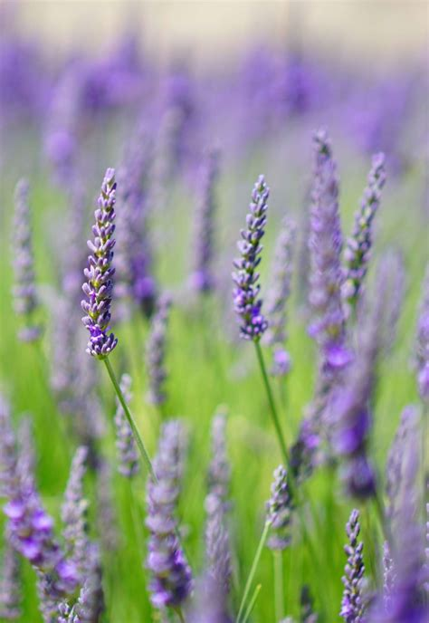 english lavender planting pruning care