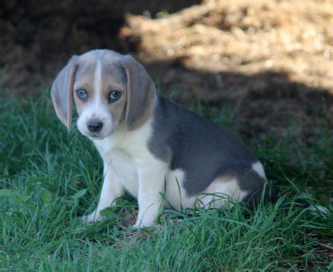 free puppies in iowa beagle puppies iowa breeds picture