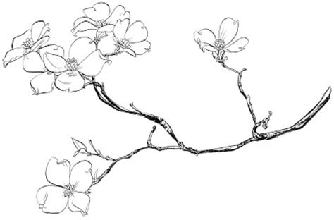 coloring page of dogwood flowers dogwood tattoo tatts pinterest drawings ideas and