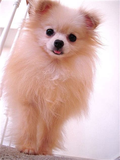 pommania pomeranians pommania is an exle of what a pomeranian puppy should breeds picture