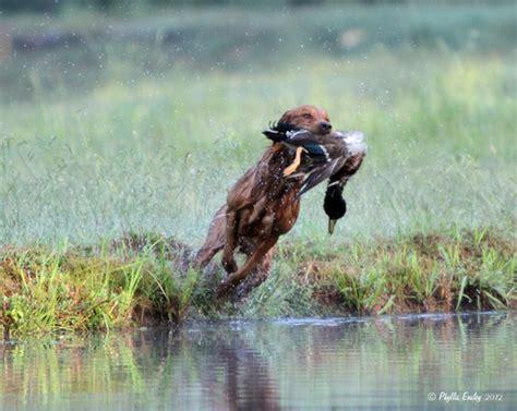 field trial golden retriever puppies thunderstruck retrievers golden retriever puppies in minnesota golden retriever
