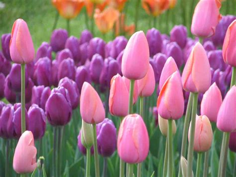 Tulip Flower Garden 301 Moved Permanently