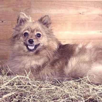 pomeranian aggressive behavior 5 situations that make sweet dogs aggressive petcarerx