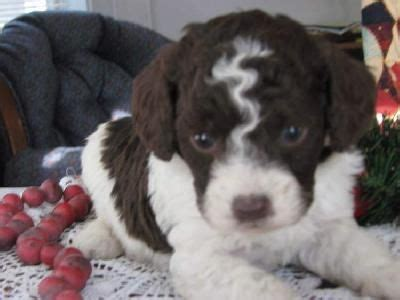 springerdoodle puppies for sale image gallery springerdoodle rescue