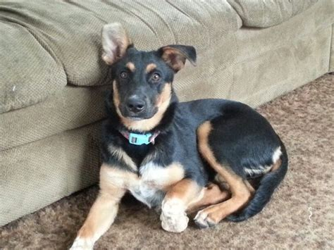 german shepherd mix with rottweiler puppies blue heeler german shepard rottweiler mix jager rottweiler