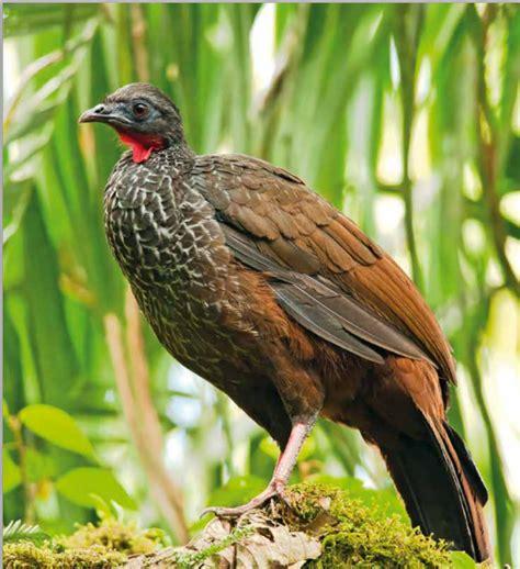 libro rojo de las aves de colombia pontificia universidad javeriana conozca el libro rojo que revela el listado de aves