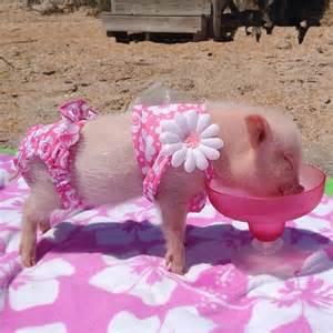 Patriotic Bedding Meet Priscilla The Prettiest Mini Pig On Instagram