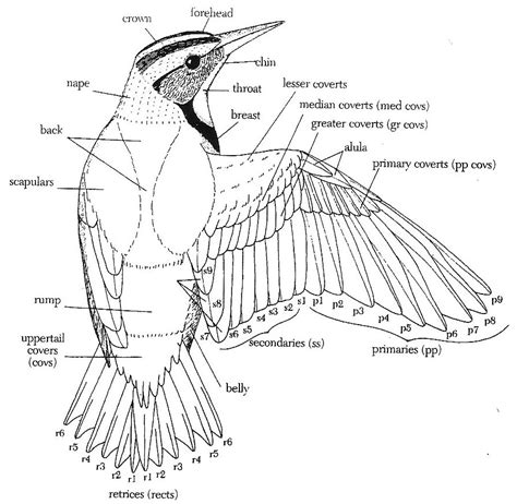 Part Pigeon Manual Corongbody upperparts the birds of nus