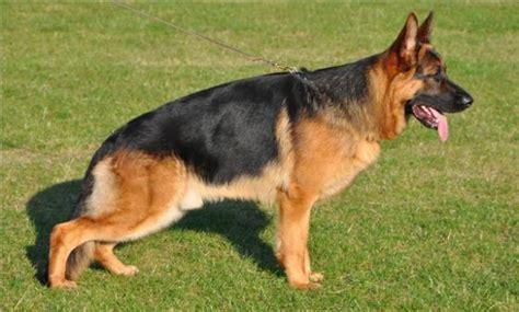 pastor aleman puppy our of the week german shepherd nuestro perro de la semana pastor aleman