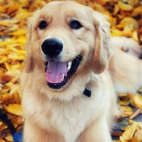 golden retriever cancer hemangiosarcoma 10 breeds that are most likely to develop cancer barkpost
